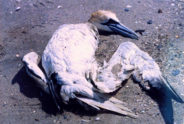 A Northern Gannet, somewhat north of its normal range, tangled in fishing line and drowned. Picture