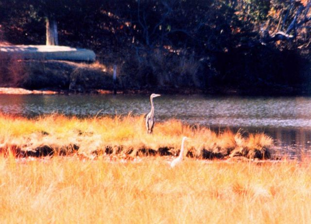 A Great Blue Heron and a Snowy Egret sharing a Patuxent River marsh area on a glorious fall day. Picture