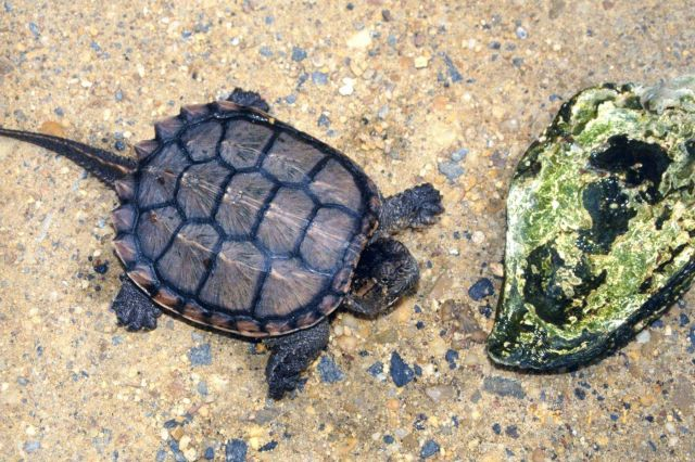 Young Alligator Snapping Turtle, Macroclemys temminckii. Picture