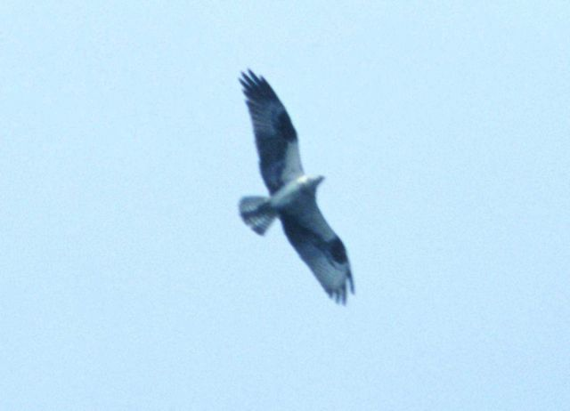 Osprey in flight. Picture