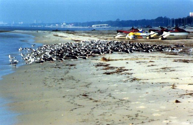A large mixed-species flock of shore birds on a Gulf of Mexico beach. Picture