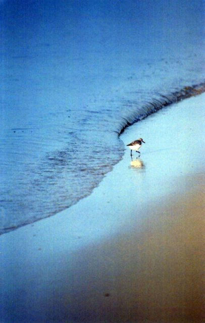A lone sandpiper patrolling the edge of the surf line in search of dinner. Picture