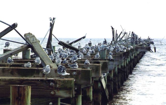 Seagulls, pelicans, and cormorants on a hurricane-damaged pier. Picture