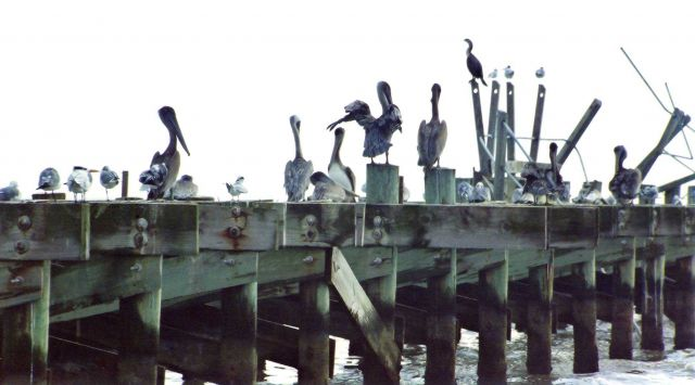 Seagulls, pelicans, oystercatchers, and cormorants use a hurricane- damaged Gulf of Mexico pier as a resting place. Picture