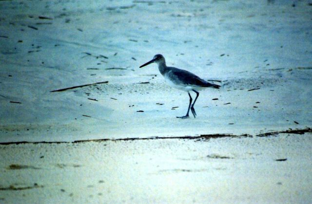 Sandpiper on the beach. Picture