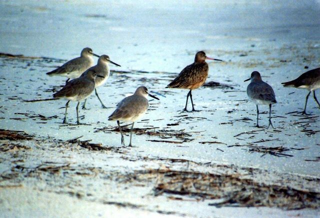 Sandpipers patrolling the beach. Picture