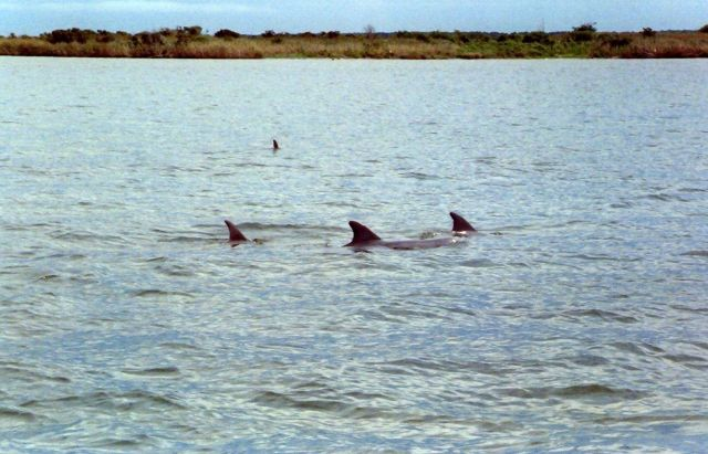 Dolphin caudal fins. Picture