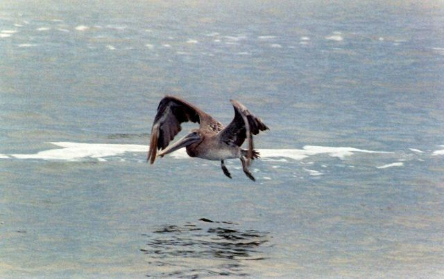 Pelican over Albemarle Sound. Picture