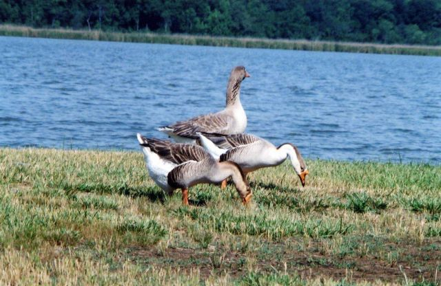 Non-native Chinese geese along the Patuxent River. Picture