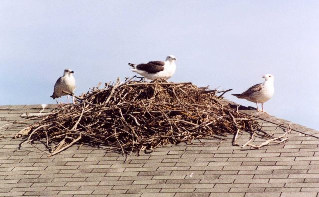 Gulls on osprey nest atop a boat house. Picture