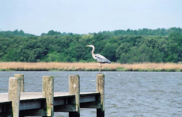 Great blue heron perched on a pier piling. Picture