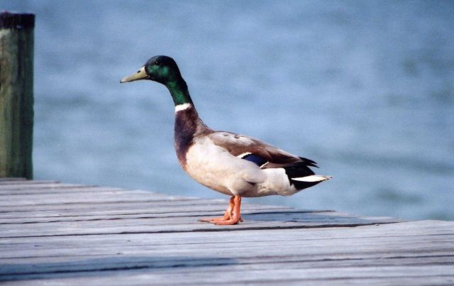 Mallard duck on a pier. Picture