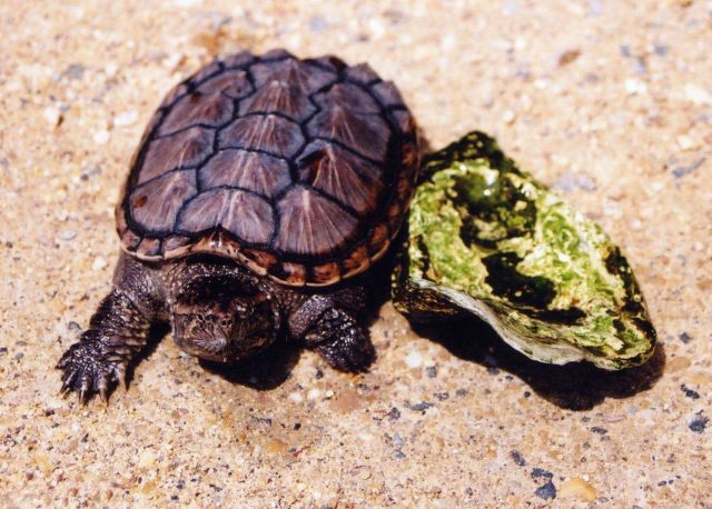 A year-old snapping turtle, about the same size as an oyster shell. Picture
