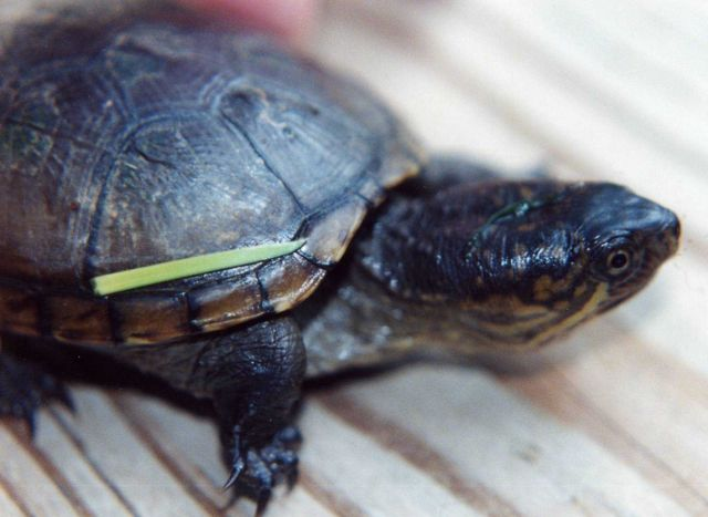 Juvenile mud turtle. Picture