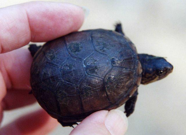 Juvenile mud turtle. Picture