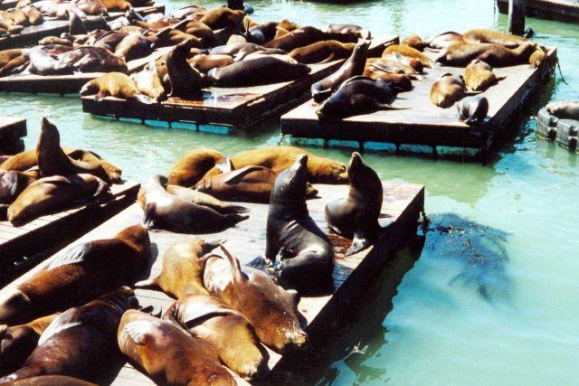 Sea lions lollygagging in the sun near Fisherman's Wharf. Picture