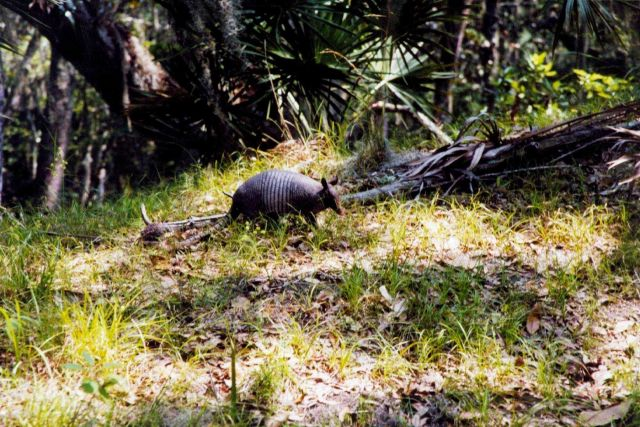 An armadillo with oaks and palmettos in the background. Picture