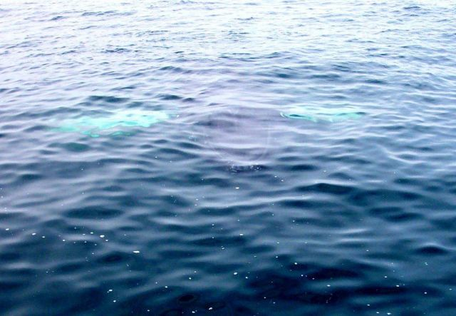 A humpback whale in the Gulf of Maine about 20 miles south of Bar Harbor. Picture