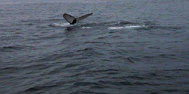 A humpback whale tail in the Gulf of Maine about 20 miles south of Bar Harbor. Picture