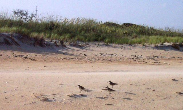 Shore birds and sea oats at Cape Hatteras National Seashore. Picture