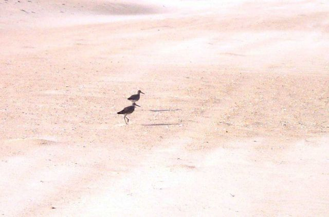 Shore birds at Cape Hatteras National Seashore. Picture