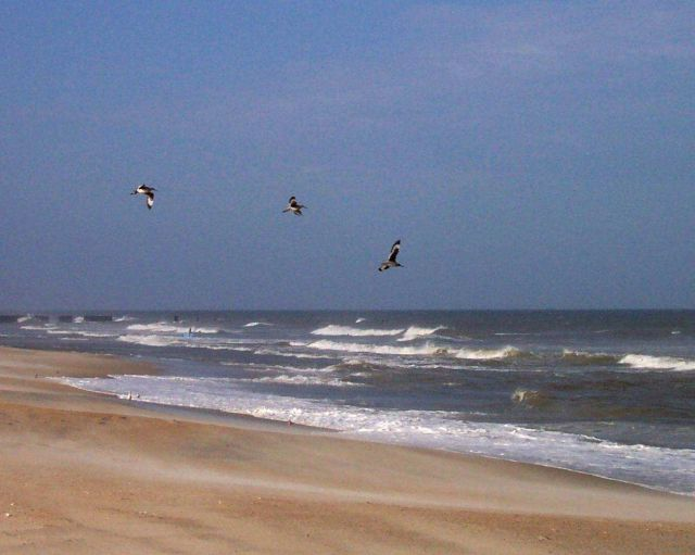 Shore birds soaring over the surf at Cape Hatteras National Seashore. Picture