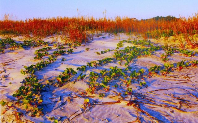 Railroad vine and sea oats at Nanny Goat Beach Picture
