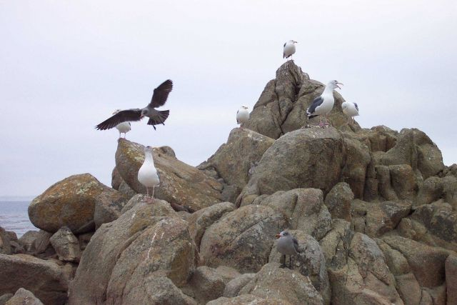 Seagulls at Point Pinos. Picture