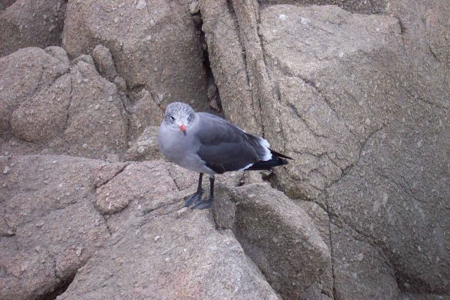 Seagull at Point Pinos. Picture