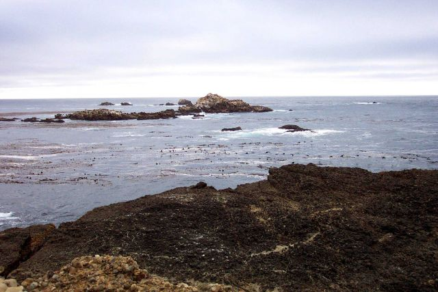 Kelp, rocks, and look closely to see the heads of sea lion on the offshore rocks at Point Lobos. Picture
