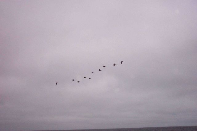 A flight of Brown Pelicans - Pelecanus occidentalis - as seen at Point Lobos. Picture