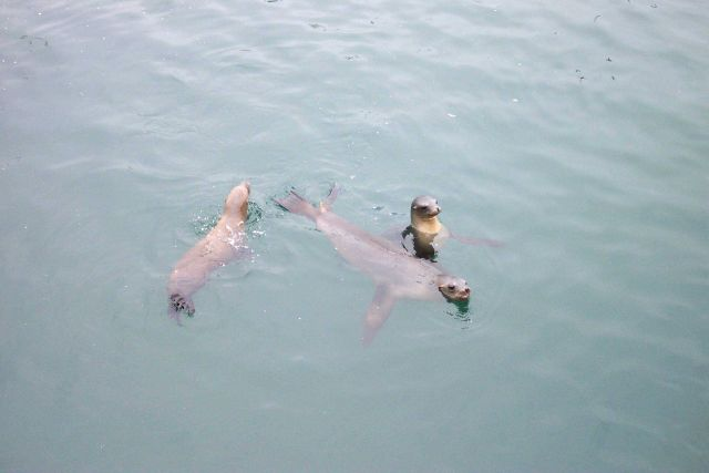Sea lions swimming near Fisherman's Wharf, Monterey. Picture