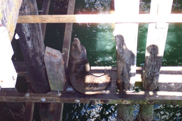 A large sealion taking it easy on the catwalks below the Santa Cruz wharf. Picture