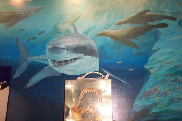 A great white shark image dominates a wall mural at the NOAA Gulf of the Farallons National Marine Sanctuary Headquarters. Picture