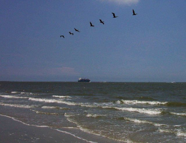 Pelicans and containership ship seen from near Fort Moultrie. Picture