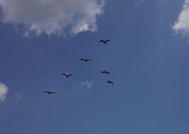 Pelicans flying overhead near Fort Moultrie on Sullivans Island. Picture