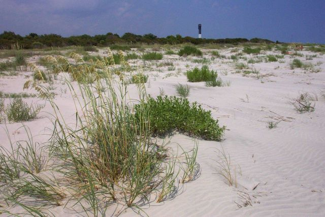 Dune vegetation and Sullivans Island lighthouse. Picture