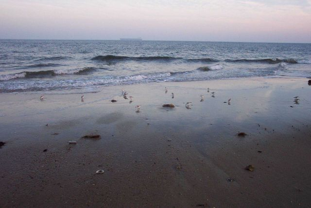 Shore birds looking for dinner in the surf zone at Cape Henry. Picture