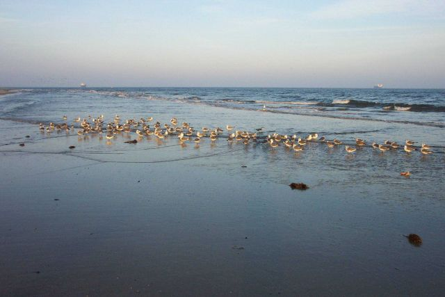 Sea gulls in the surf zone at Cape Henry. Picture