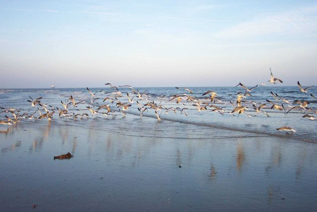 Sea gulls flying near the water at Cape Henry. Picture
