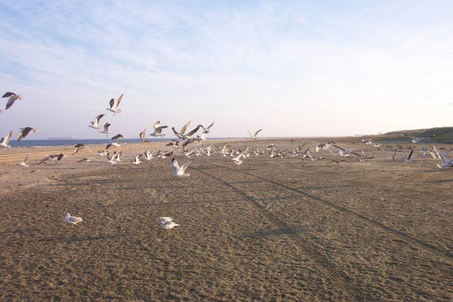 A flock of sea gulls taking off at Cape Henry. Picture