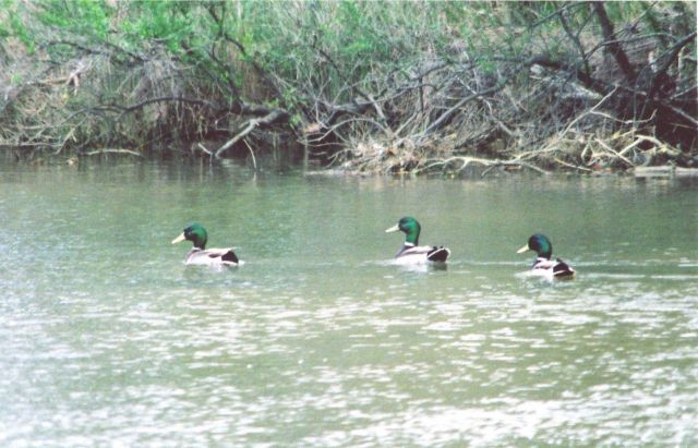 Mallards along a tributary of the Patuxent River. Picture