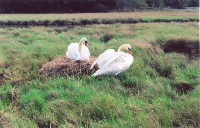 A mute swan nest. Picture