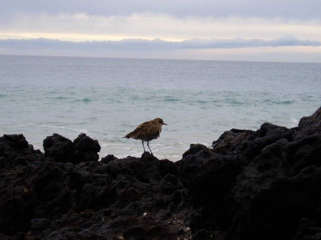 Shore bird and lava rocks at the interface of land and sea. Picture