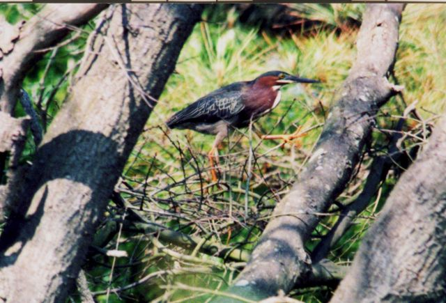 A little green heron (Butorides virescens ) Picture