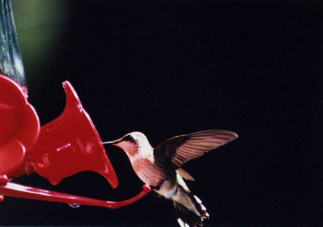 Hummingbird on a feeder. Picture