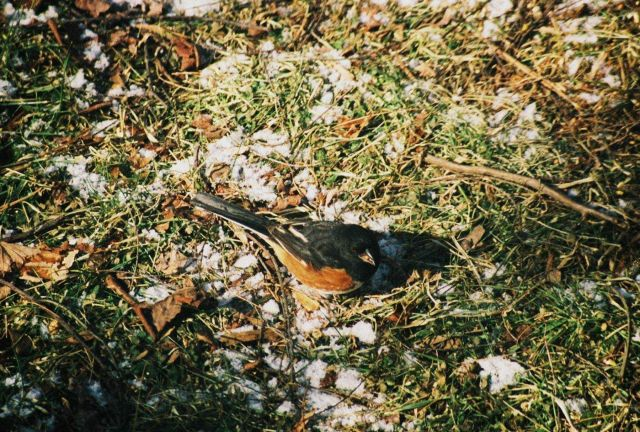 Eastern towhee (Pipilo erythrophthalmus) Picture