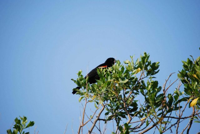 A redwinged blackbird seen at Parkers Creek. Picture