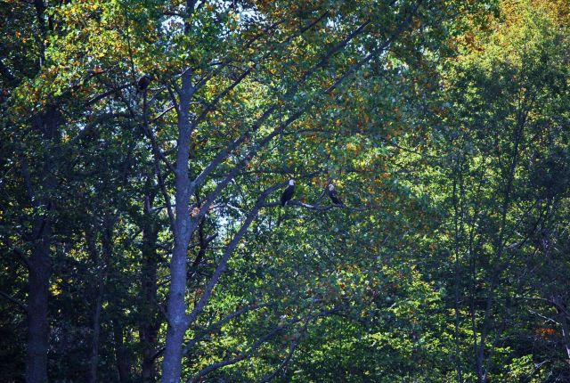 A pair of bald eagles (Haliaeetus leucocephalus) in a tree off Parkers Creek Picture