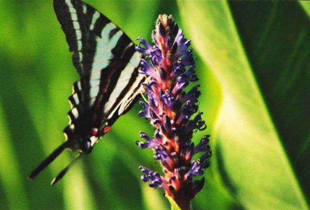 A butterfly in pickerel weed marsh. Picture